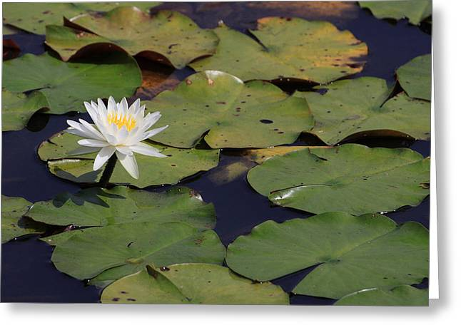 Lilly Pads Greeting Cards - Water Lilly Greeting Card by Forest Alan Lee