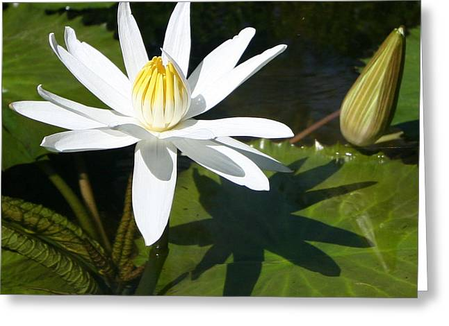 Lilly Pad Greeting Cards - Water Lilly Shadow Greeting Card by Tony and Kristi Middleton