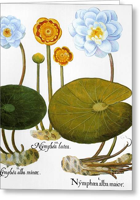 Nymphaea Alba Greeting Cards - Water Lily, 1613 Greeting Card by Granger