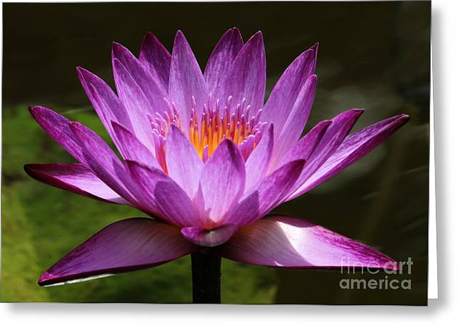 Water Garden Greeting Cards - Water Lily Blossom Greeting Card by Sabrina L Ryan