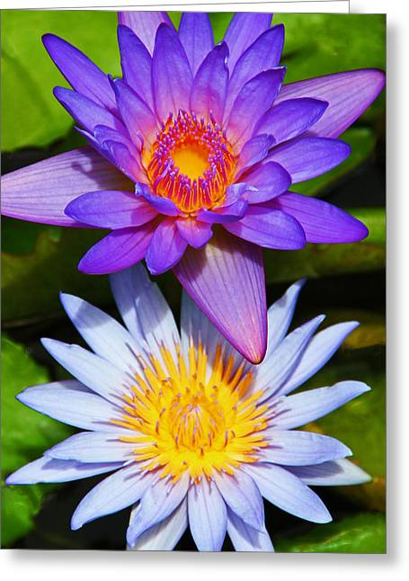 Lotus Blossoms Greeting Cards - Water Lily Blossoms Greeting Card by Kerri Ligatich