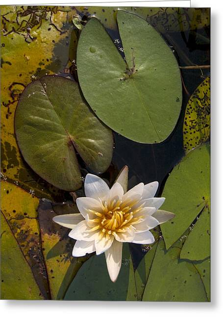 Day Lilly Greeting Cards - Water Lily Botswana Greeting Card by Piotr Naskrecki