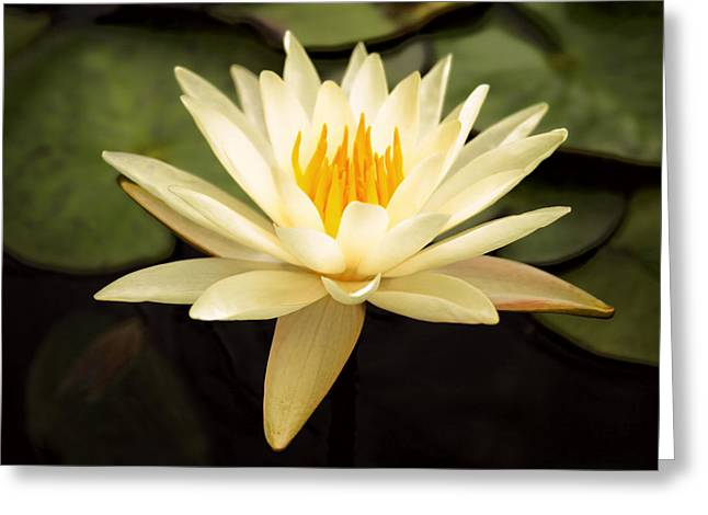 White Waterlily Greeting Cards - Water Lily Greeting Card by Darren Fisher