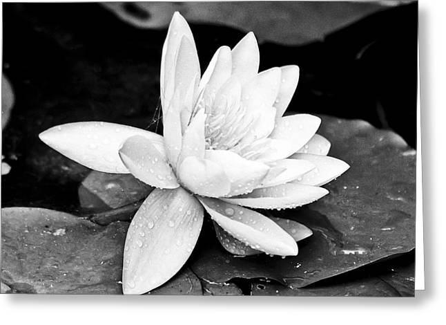Pointed Petals Greeting Cards - Water Lily Flower Greeting Card by Gordon Wood