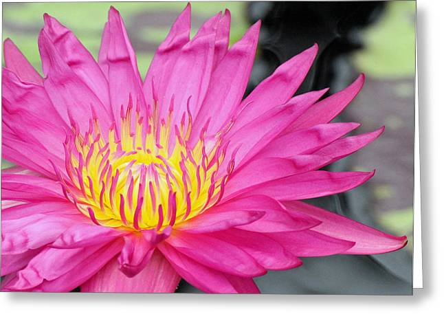 Water Lily In Pink Greeting Card by Becky Lodes