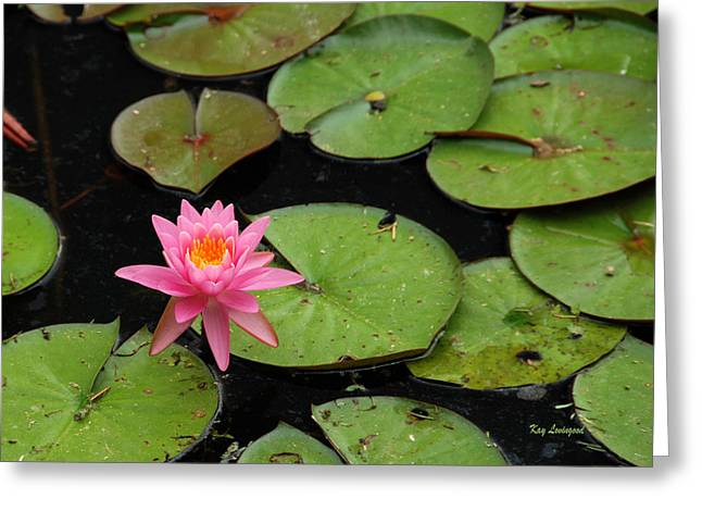 Kay Lovingood Greeting Cards - Water Lily Greeting Card by Kay Lovingood