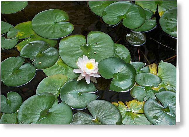 Kay Sawyer Greeting Cards - Water Lily Greeting Card by Kay Sawyer