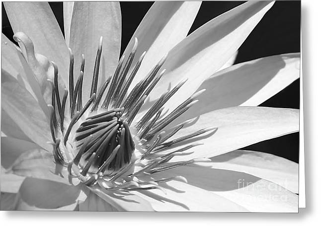 Florida Flowers Greeting Cards - Water Lily Macro in Black and White Greeting Card by Sabrina L Ryan