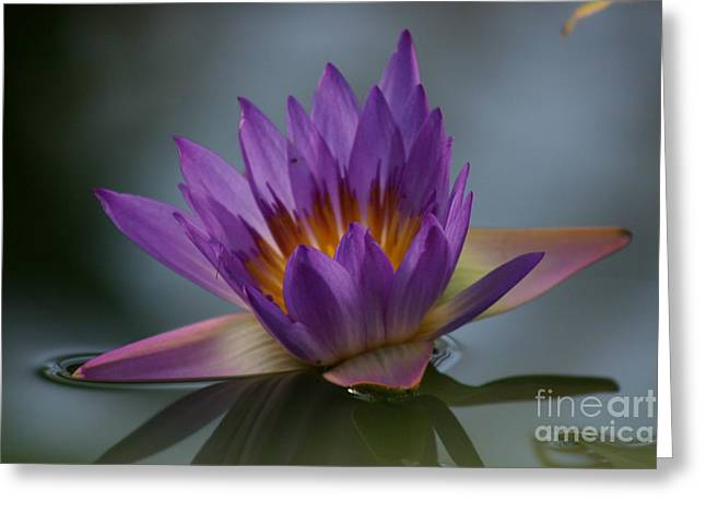 Water Lily Greeting Card by Rachel  Harris