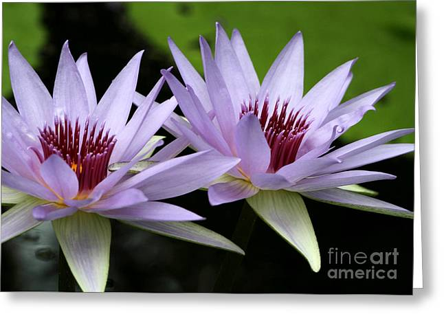 Florida Flowers Greeting Cards - Water Lily Twins Greeting Card by Sabrina L Ryan