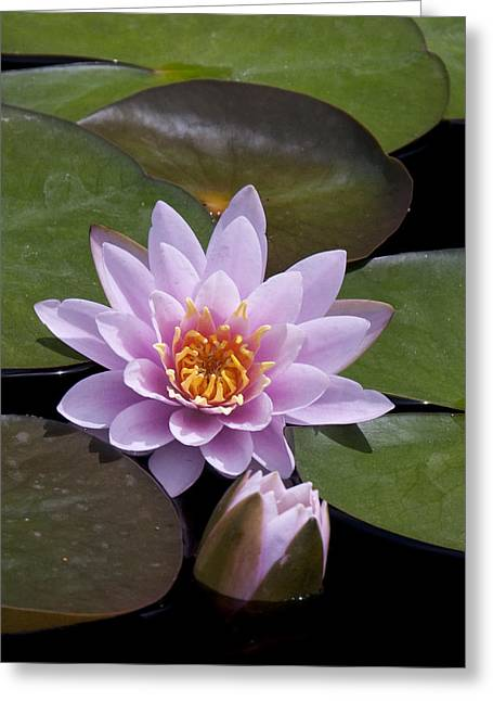 Angelini Greeting Cards - Water Lily visit www.AngeliniPhoto.com for more Greeting Card by Mary Angelini