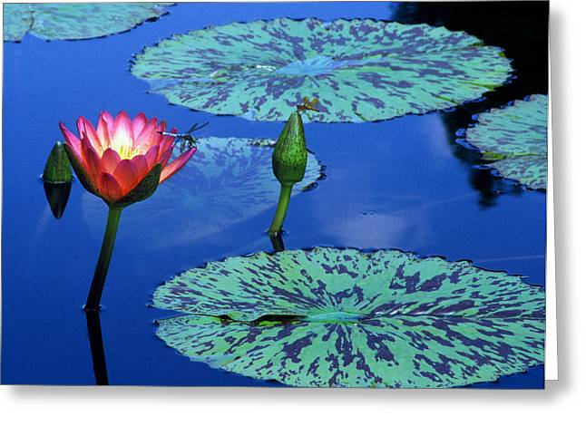 Dragon Flies Photographs Greeting Cards - Water Lily w Dragon Flies Greeting Card by TB Sojka