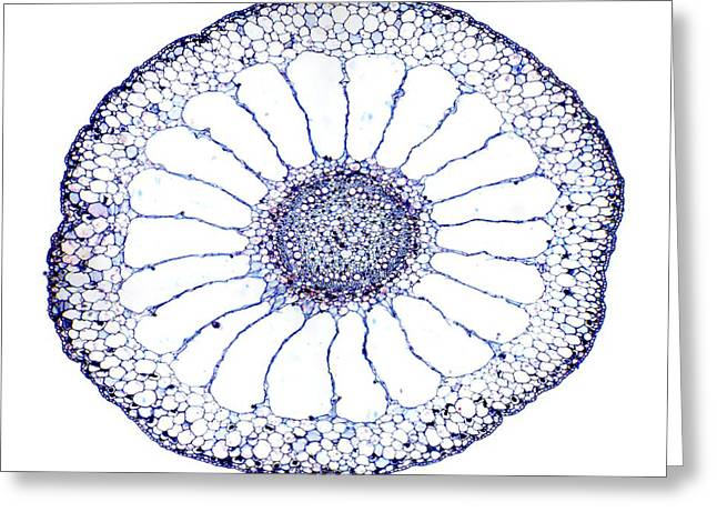 Water Milfoil Stem, Light Micrograph Greeting Card by Dr Keith Wheeler