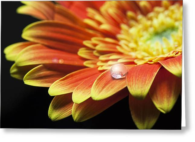 Flare-up Greeting Cards - Waterdrop on the petal of a orange Gerbera Daisy with lens flare Greeting Card by Zoe Ferrie