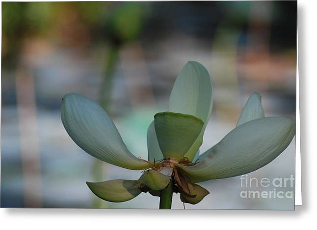 Lilly Pad Greeting Cards - Waterlily Wash Closeup Horizontal Greeting Card by Heather Kirk