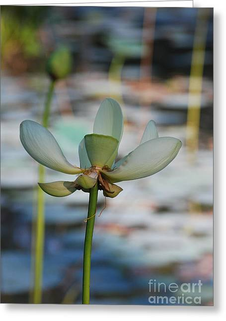 Lilly Pad Greeting Cards - Waterlily Wash  Vertical Greeting Card by Heather Kirk
