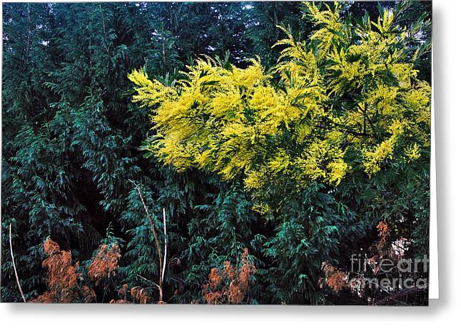 Australian Native Flora Greeting Cards - Wattyl - Wild flower of Australia Greeting Card by Kaye Menner