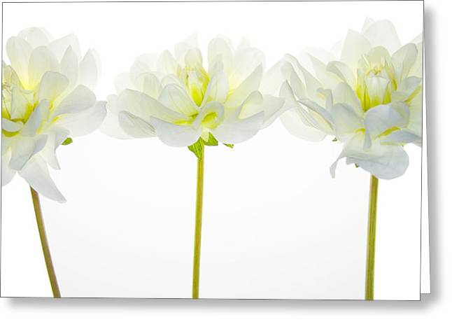 Dahlias Greeting Cards - We Glow Greeting Card by Rebecca Cozart