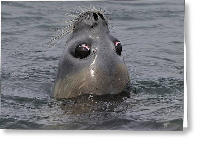 Elephant Seals Greeting Cards - Weaner Southern Elephant Seal Greeting Card by Tony Beck