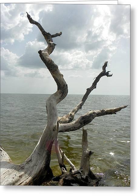 Cedar Key Greeting Cards - Weathered Beach Trees I Greeting Card by Sheri McLeroy
