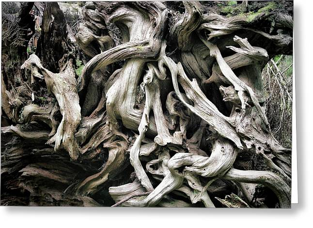 Preserved Greeting Cards - Weathered roots - Sitka Spruce tree Hoh Rain Forest Olympic National Park WA Greeting Card by Christine Till