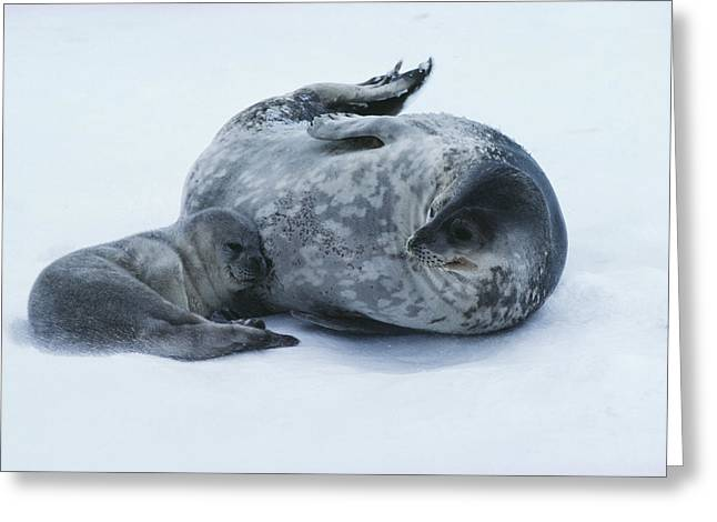 Caring Mother Greeting Cards - Weddell Seal Mother With Pup Greeting Card by Doug Allan