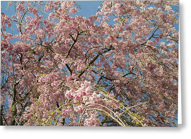 Recently Sold -  - Close Focus Nature Scene Greeting Cards - Weeping Cherry Tree In Bloom Greeting Card by Todd Gipstein