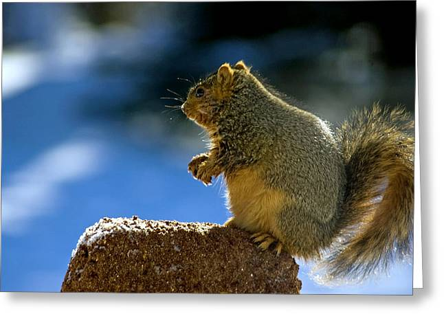 Wild Orchards Greeting Cards - Weight Watchers Squirrel Greeting Card by LeeAnn McLaneGoetz McLaneGoetzStudioLLCcom