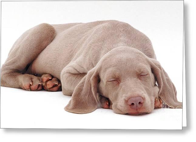 Weimaraner Puppy Greeting Cards - Weimaraner Puppy Greeting Card by Jane Burton