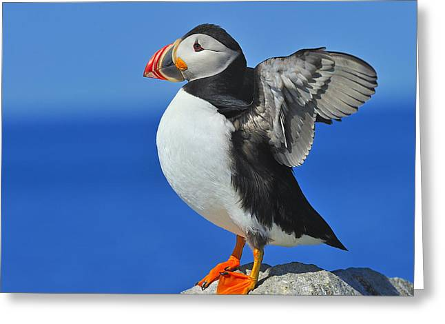 Atlantic Puffin Greeting Cards - Welcoming The Sunrise Greeting Card by Tony Beck