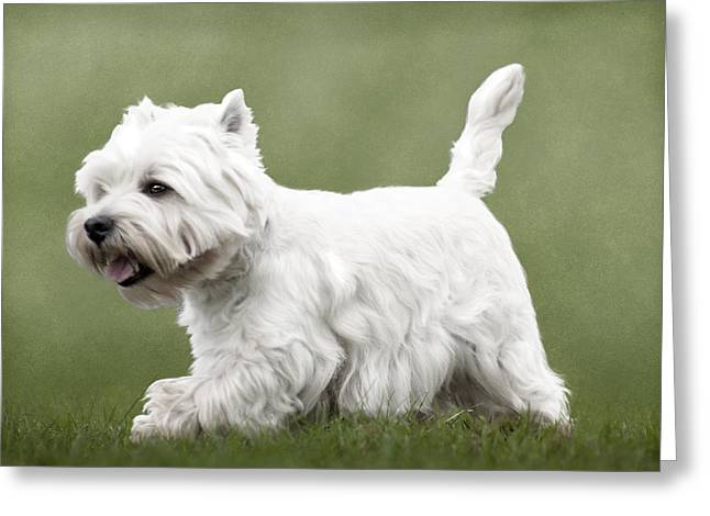 Scottie; Dog Greeting Cards - West Highland Terrier Trotting Greeting Card by Ethiriel  Photography