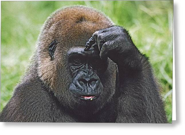 Hand On Head Greeting Cards - Western Gorilla Portrait With Finger On Greeting Card by David Ponton