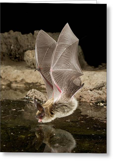 State Parks In Oregon Greeting Cards - Western Long-eared Myotis Myotis Evotis Greeting Card by Michael Durham