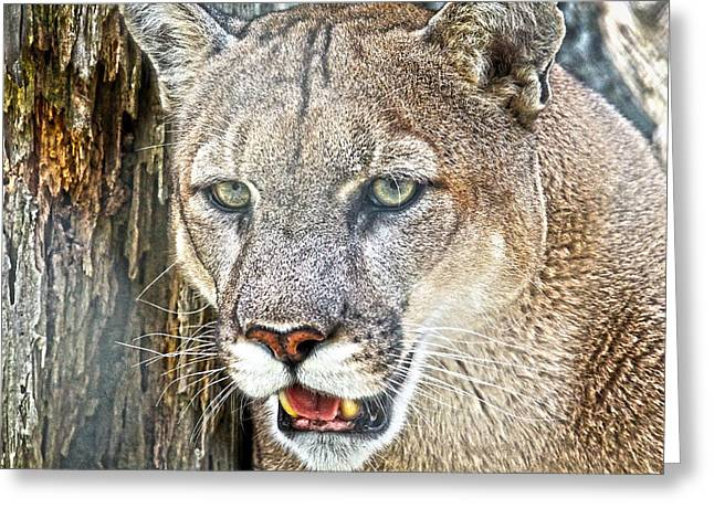 Growling Greeting Cards - Western Mountain Lion Greeting Card by Steve McKinzie