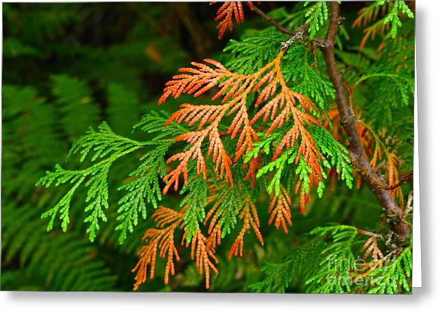Sean Griffin Greeting Cards - Western red cedar Greeting Card by Sean Griffin