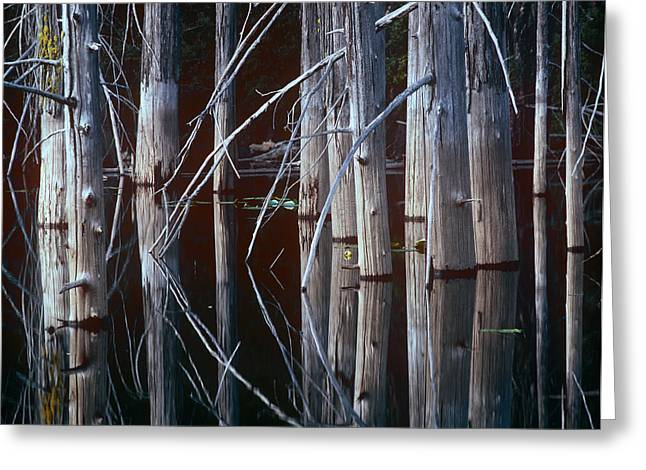 Red Cedar Greeting Cards - Western Red Cedar Trees Oliphant Lake Greeting Card by Tim Fitzharris