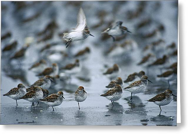 Mud Season Greeting Cards - Western Sandpiper Calidris Mauri Flock Greeting Card by Michael Quinton