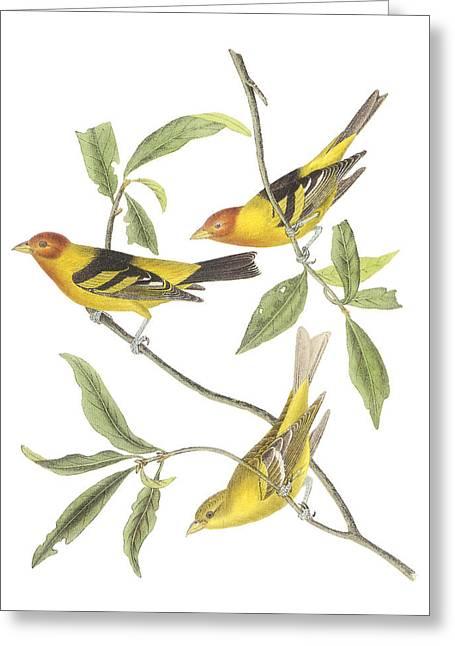 Audubon Greeting Cards - Western Tanager Greeting Card by John James Audubon
