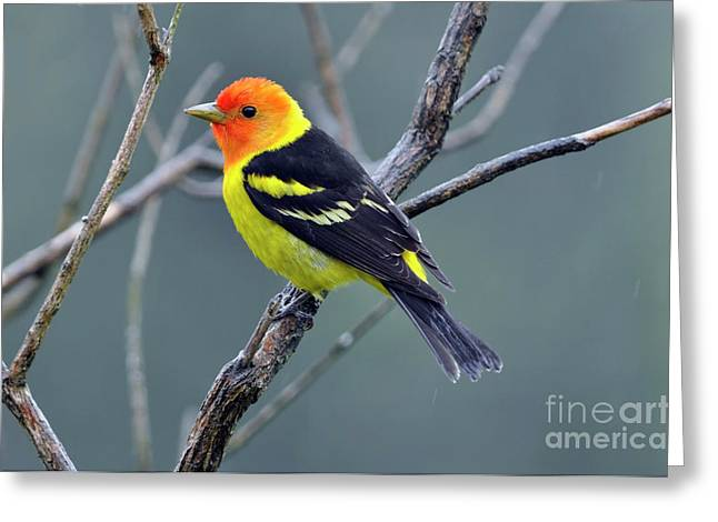Oregon Wild Life Greeting Cards - Western Tanager Male Greeting Card by Laura Mountainspring