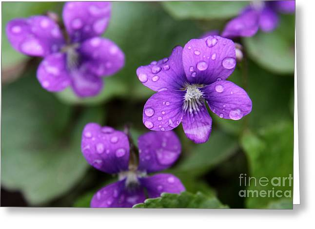 Chris Hill Greeting Cards - Wet Purple Violets Greeting Card by Chris Hill