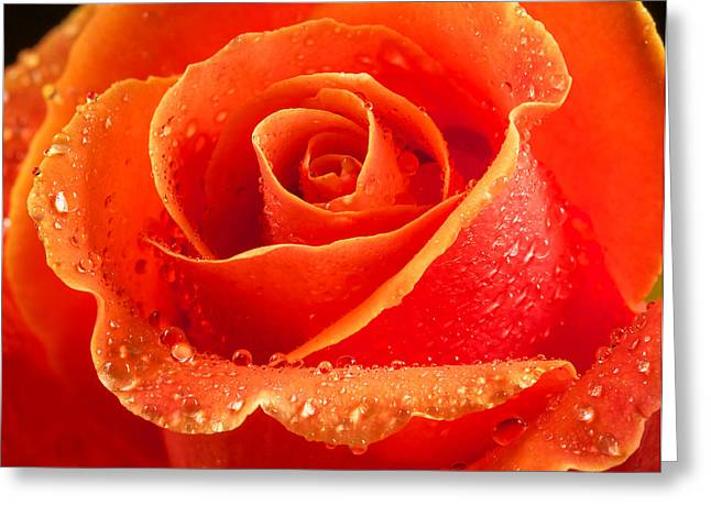 Jean Noren Greeting Cards - Wet rose Greeting Card by Jean Noren