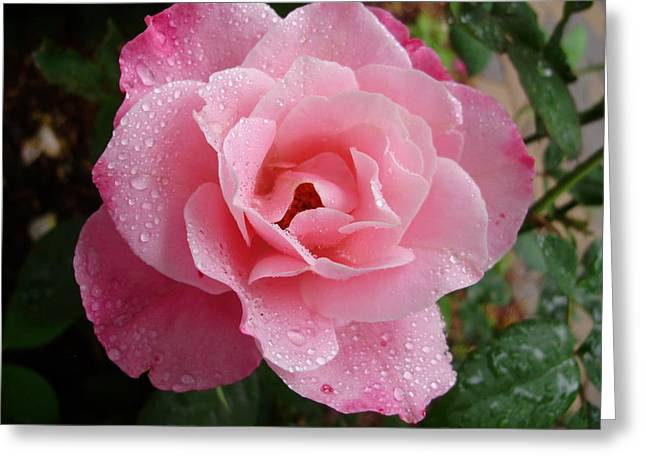 Wet Rose Greeting Cards - Wet Simplicity Greeting Card by Amethyst Wyldfyre