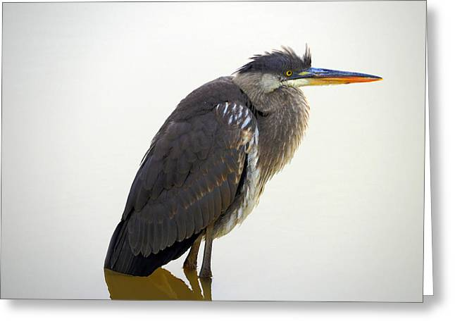 Bird Rookery Swamp Greeting Cards - Wet tail feathers Greeting Card by Brian Stevens