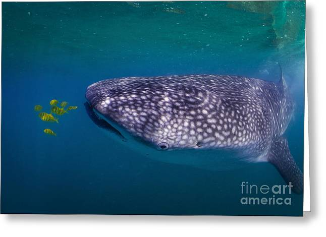 La Paz Greeting Cards - Whale Shark Feeding On Fish, La Paz Greeting Card by Todd Winner