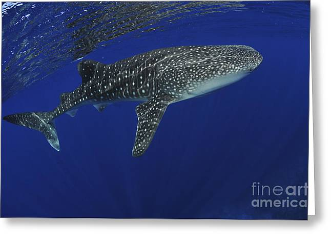 Elasmobranch Greeting Cards - Whale Shark Near Surface With Sun Rays Greeting Card by Mathieu Meur