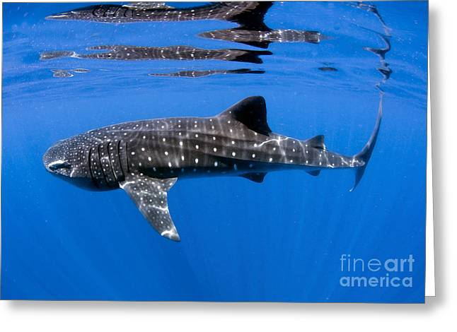 Mujeres Greeting Cards - Whale Shark Off Coast Of Isla Mujeres Greeting Card by Karen Doody