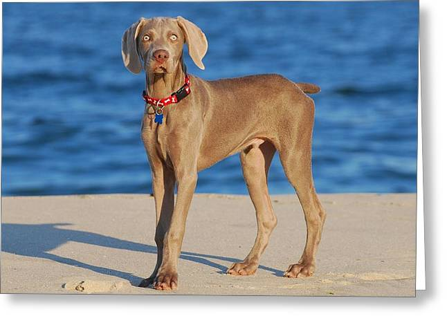 Dog Beach Card Greeting Cards - What - Weimaraner Puppy Greeting Card by Angie Tirado