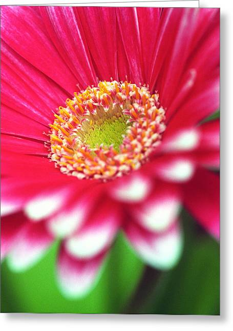 Pink Flower Prints Greeting Cards - What a Daisy Greeting Card by Kathy Yates