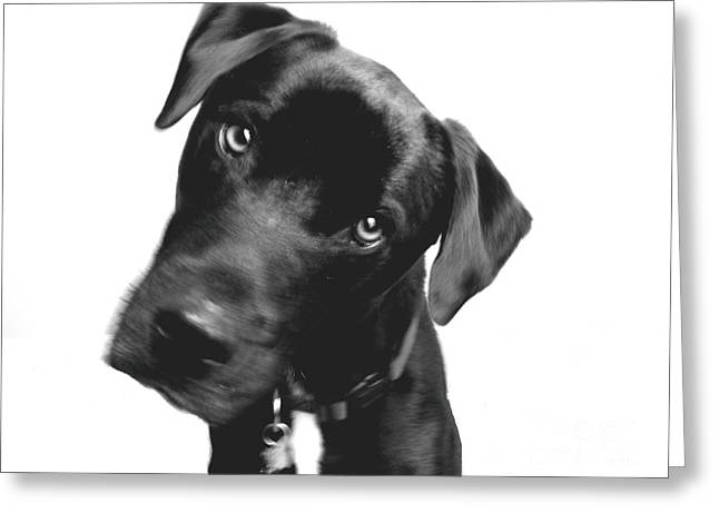 Lab Mix Greeting Cards - What Greeting Card by Amanda Barcon