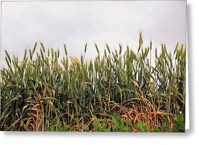 Barn Pen And Ink Photographs Greeting Cards - Wheat Field Greeting Card by Athena Mckinzie